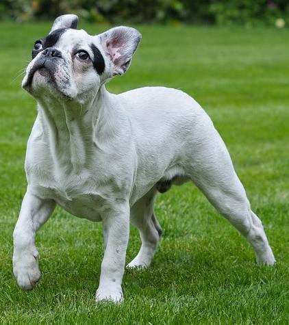 eine Französische Bulldogge