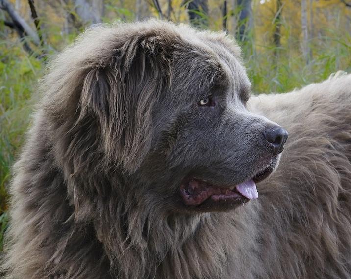 ein Neufundländer Hund