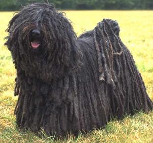 ein schwarzer Puli Hund