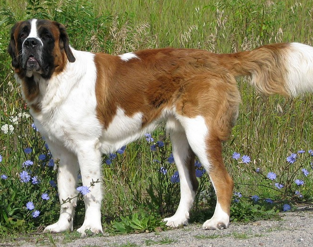 ein grosser Saint Bernard Hund
