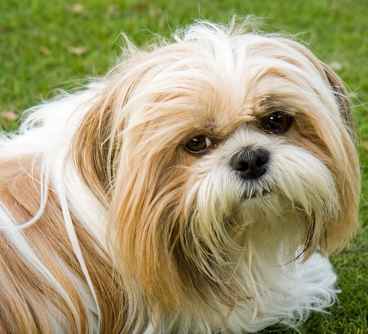 ein Shih Tzu Hund