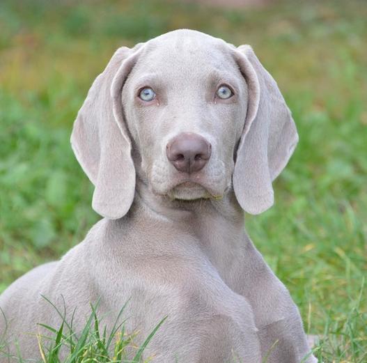 ein Weimaraner mit blauen Augen
