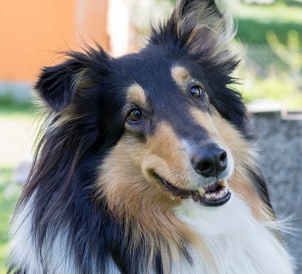 Collies - beste Familienhunde