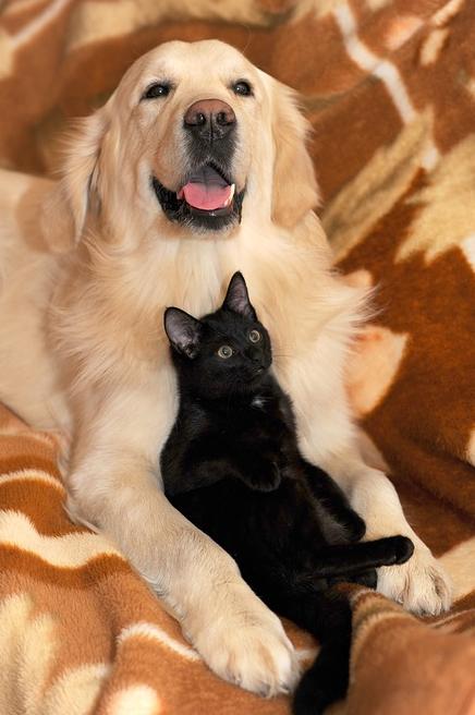 ein Labrador mit einer schwarzen Katze