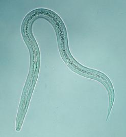 Hakenwürmer