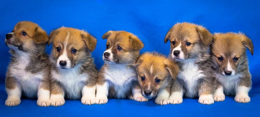 Sechs Hunde Welpen