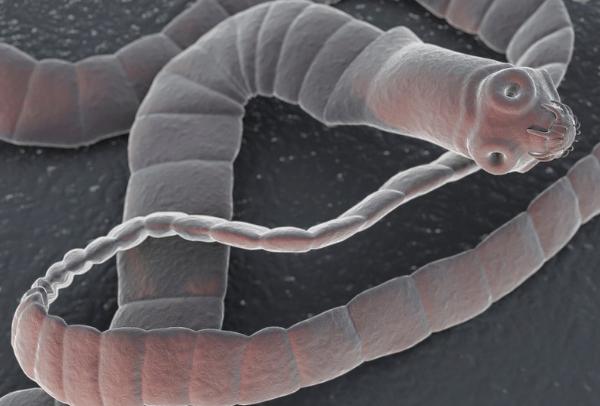 Bandwürmer