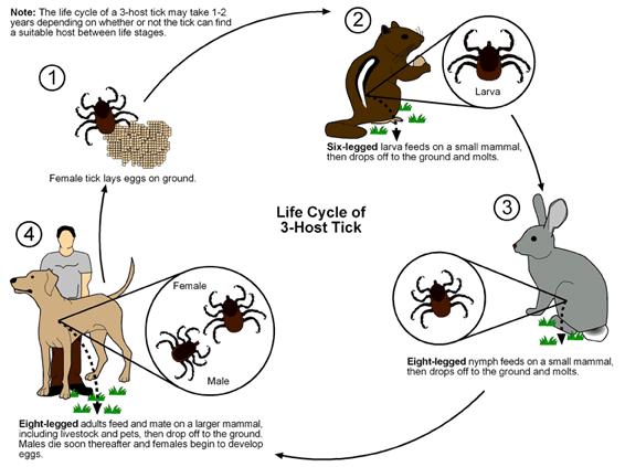 Diagramm vom Zeckenlebenszyklus