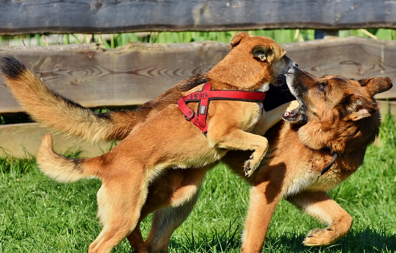 Preventing Dog Fights – Causes, Prevention And Intervention