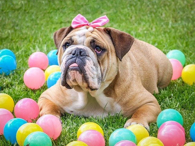 pampered bulldog with pink ribbon