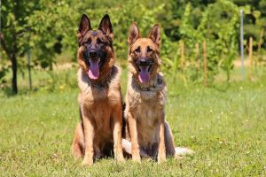 german shepherd male and female dogs