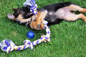 german shepherd pup playing